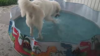 Happy Doggy Is Caught Playing In A Children's Pool