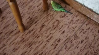 Beautiful wavy parrot at home.
