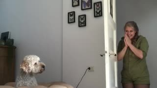 Goldendoodle falls for owner's disappearing magic trick - Video