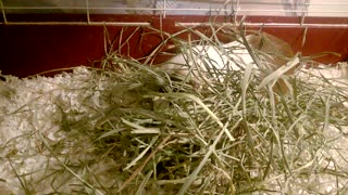 Guinea Pig in Hay - Video