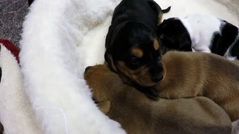 Newborn puppies whimper adorably for nap time