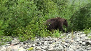 Incredible close-up footage of a grizzly bear - Video