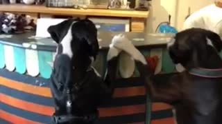 Boxers hilariously await to order food at dog cafe