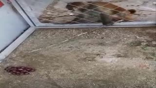 Clever trick of the monkey to get his request