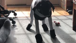 Labrador utterly embarrassed with her new snowsuit