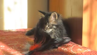 Fluffy Kitten Plays With Feather