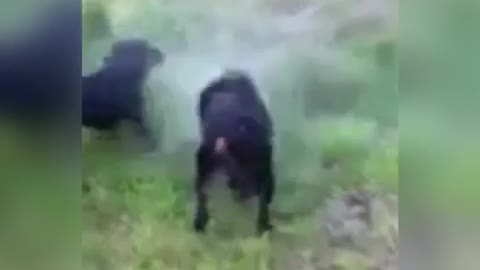 Diving dog pulls up HUGE rock from the dam.