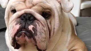 Funny bulldog tries his best to look tough  - Video
