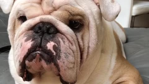Funny bulldog tries his best to look tough