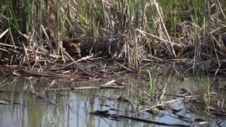Raccoon dabbles in a stream foraging for food.