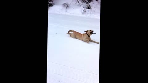 Snow sledging pup goes down hill with stick in mouth