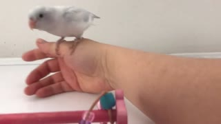 Baby White Parrotlet - Perch Training