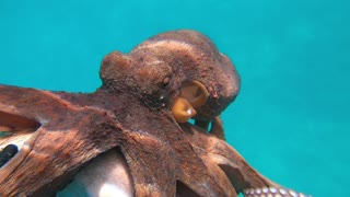 Friendly Octopus Clings onto Freediver