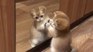 Mirror Playing small kitten - Video