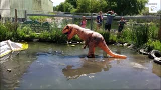 Man Dressed As T-Rex Teases 500lb Alligator - Video