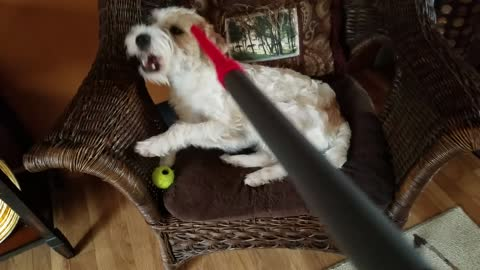 Fluffy Terrier gets a new doo with a vacuum
