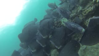Amazing Diving with the Green Humphead parrotfish!  - Video