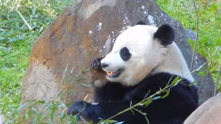 Giant panda vigorously munches away on bamboo - Video