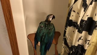 Charley The Parrot Enjoys Taking A Shower.