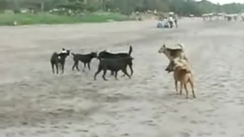 There are 7 dogs fighting for a dog