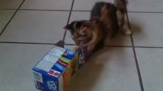 Kitten loves sliding into empty box - Video