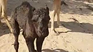 camel in uae uzba  - Video