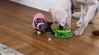 Bulldog completely mesmerized by cat's toy