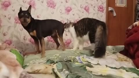 Small Dogy Ran After His Friend Cat