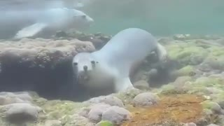 check how sea penguins move under water family dive