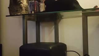 Two cats fight one falls off table - Video
