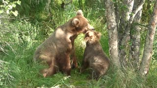 Grizzly Mother's Love and Tolerance with Cub - Video