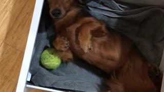 Cute dachshund naps inside desk drawer