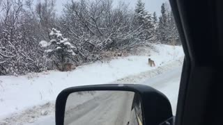 Lynx Family Crosses the Road