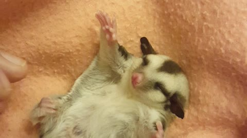 A Teeny Tiny Baby Sugar Glider Enjoys Belly Rubs By Owner