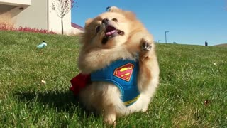 Adorable little dog thinks he's Superman - Video