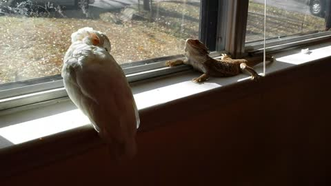 This Cockatoo And Bearded Dragon Are Sun Buddies