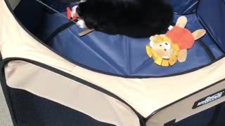 Black dog in blue tent tries to catch orange fish on pole - Video
