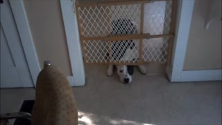 dog behind baby gate
