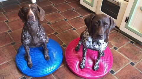 Two dogs just hanging out on their wobble cushions