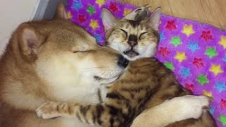 Shiba Inu and cat best friendly preciously nap together