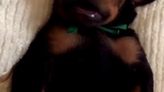 Doberman puppy really enjoys his massage