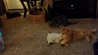 Tazz Enjoys His Toy While His Friends Ignore Him  - Video