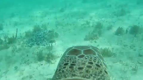 Camera attached to the back of a sea turtle delivers incredible footage