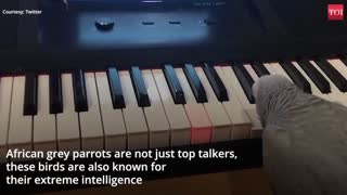 The parrot plays the piano professionally