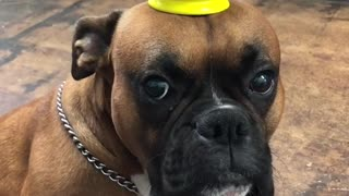 Dog balances cup on his head