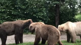 Bears Stand Off on Lodge Pathway