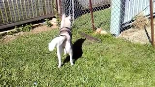 Have you ever seen a husky bark..not howl?  - Video