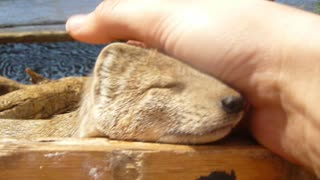 Adorable Yellow Mongoose loves a neck rub - Video