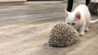Hedgehog Wards Off Curious Little Kitten