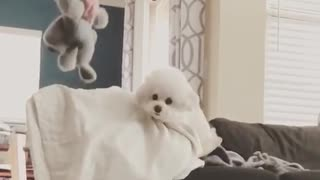 White dog chases toy up couch and jumps to camera slowmo